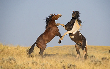 RF - Mustang horse, two stallions rearing up in aggression, in grassland. McCullough Peaks Herd Management Area, Wyoming, USA. April. (This image may be licensed either as rights managed or royalty fr...