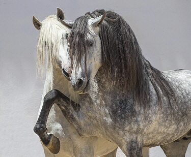 Andalusian horsea, two stallions coming together in arena one dappled grey and one pure white. Spain.