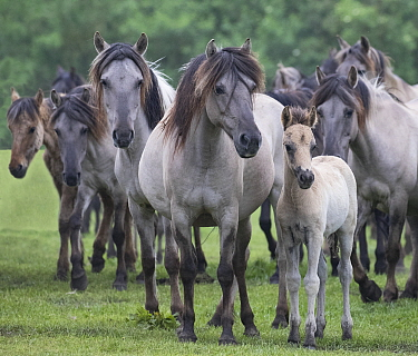 RF - Wild Dulmen pony herd including female and foal. Germany. (This image may be licensed either as rights managed or royalty free.)
