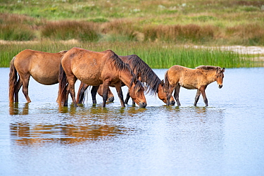 Sable Island horse, group of wild horses including foal at waterhole. Sable Island National Park, Nova Scotia, Canada. September.