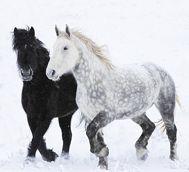 RF - Percheron horse, two walking through snow, one black, one dappled grey. Alberta, Canada. February. (This image may be licensed either as rights managed or royalty free.)