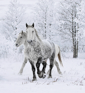 Percheron horses, two including one dappled grey walking through snow, frosty trees in background. Alberta, Canada. February.