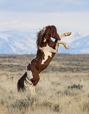 RF - Wild Pinto horse stallion rearing up on back legs in grassland, with snow covered mountains in background. McCullough Peaks Herd Management Area, Wyoming, USA. April. (This image may be licensed...