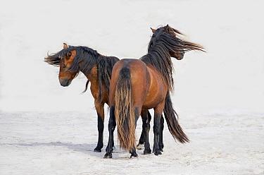 Two wild Sable Island Stallions on the beach on Sable Island, Canada.