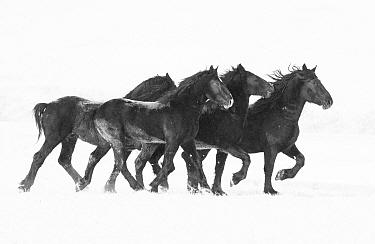 Percheron horses, four running in snow. Alberta, Canada. February.