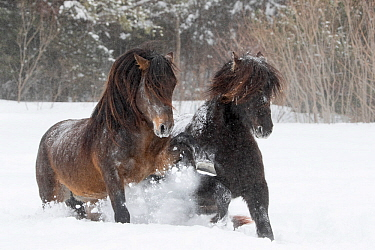 Canadian horses, two running through snow. Quebec, Canada. January.