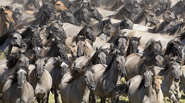 RF - Wild Dulmen pony mares and foal running together at round up. Dulmen, North Rhine-Westphalia, Germany. (This image may be licensed either as rights managed or royalty free.)