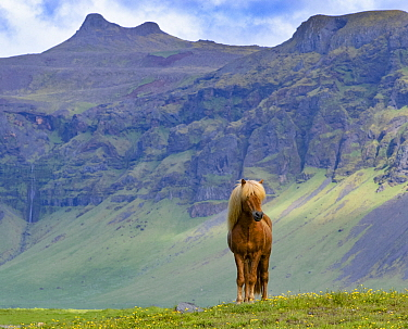 Icelandic horse standing in grassland, mountains in background. Southern Iceland. June.