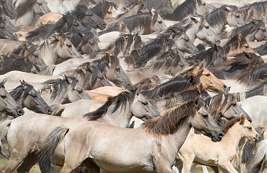 Wild Dulmen pony mares and foal, many running together at round up. Dulmen, North Rhine-Westphalia, Germany.