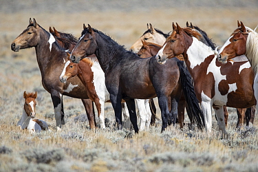 RF - Mustang herd standing in grassland, foal lying on ground. Red Desert Complex, Wyoming, USA. September. (This image may be licensed either as rights managed or royalty free.)