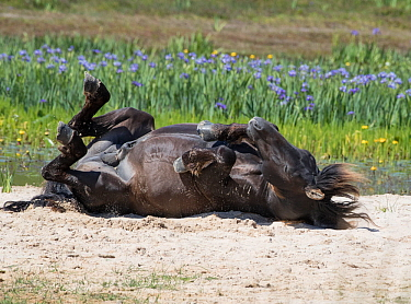 Sable Island horse, wild stallion rolling on back on beach, wildflowers in background. Sable Island National Park, Nova Scotia, Canada. July.