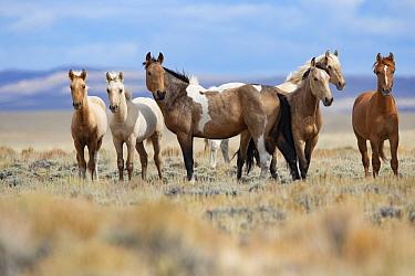 Mustang herd standing in grassland. Red Desert Complex, Wyoming, USA. September.