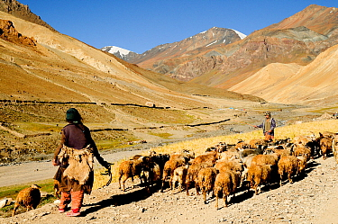 Two shepherds herding flock of goats and sheep in mountains. At altitude of 4100m. Photaksar, Ladakh, India. September 2011.