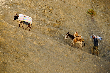 Man and two donkeys carrying goods up steep slope to Lingshed Monastery, Zanskar, Ladakh, India. September 2011.
