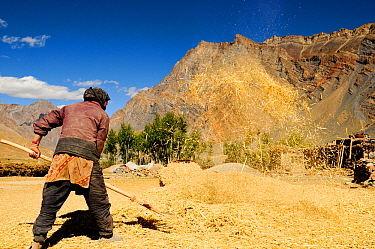 Woman threshing by throwing straw into air with rake, in valley surrounded by mountains. At an altitude of 3730m. Zanskar Valley, Ladakh, India. September 2011.