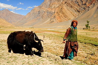 Woman leading Yak (Bos grunniens) in Zanskar Valley, mountains in background. At an altitude of 3630m. Pishu, Ladakh, India. September 2011.