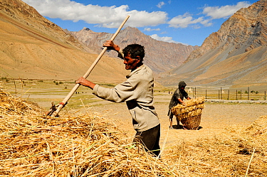 Man raking straw, another man collecting straw up in background. In valley surrounded by mountains. At an altitude of 3730m. Pishu, Zanskar Valley, Ladakh, India. September 2011.