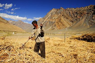 Man raking straw in valley, surrounded by mountains. At an altitude of 3730m. Pishu, Zanskar Valley, Ladakh, India. September 2011.