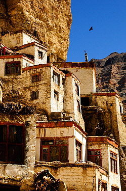 Alpine chough (Pyrrhocorax graculus) flying over Phugtal Gompa, a Buddhist monastery at 3950m in altitude, built on limestone cliff. Tsarap River, Zanskar.