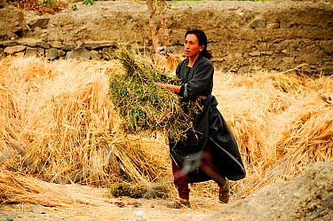 Woman harvesting crop in field. Lamayuru, Ladakh, India. September 2011.