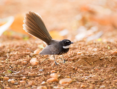 White throated fantail flycatcher (Rhipidura albicolis albogularis) fanning tail. Bandipur National Park, Karnataka, India. March.