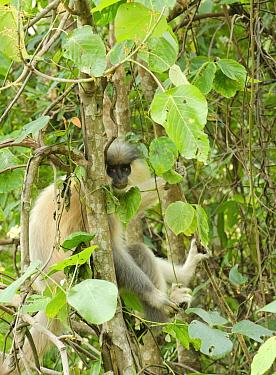 Capped langur (Trachypithecus pileatus) sitting in tree. Bhutan.