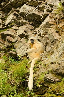 Golden langur (Trachypithecus geei) sitting on rockface. Bhutan.