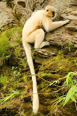 Golden langur (Trachypithecus geei) sitting on moss covered rockface. Bhutan.