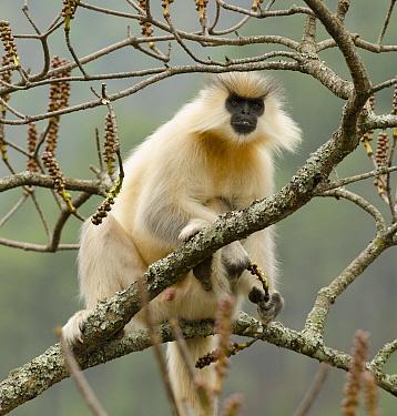 Golden langur (Trachypithecus geei) sitting in tree. Bhutan. April.