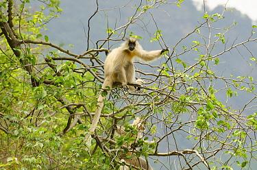 Golden langur (Trachypithecus geei) sitting in tree, Bhutan.