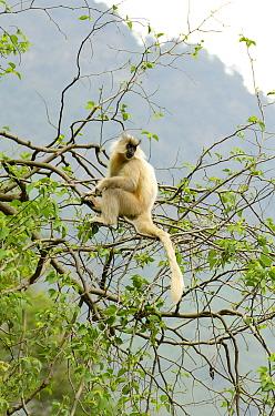 Golden langur (Trachypithecus geei) sitting in tree. Bhutan.