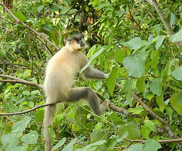 Capped langur (Trachypithecus pileatus) in tree. Bhutan.