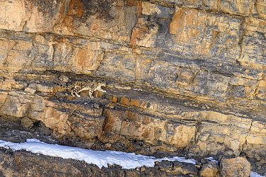 RF - Elderly male snow leopard (Panthera uncia) stalking Siberian ibex (Capra sp.). Spiti Valley, Himachal Pradesh, northern India. (This image may be licensed either as rights managed or royalty free...