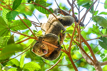 Sulawesi bear cuscus / phalanger (Ailurops ursinus) in forest canopy. Tangkoko National Park, Sulawesi, Indonesia.