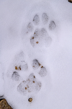 Foot prints (pug marks) of Snow leopard (Panthera uncia) in snow on ridge line. Ladakh Ranges, Himalayas, Ladakh, India.