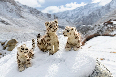 Felt snow leopard toys made by villagers. Part of a broader eco tourism initiative to augment their income and change local attitudes towards snow leopards. Ulley Valley, Himalayas, Ladakh, northern I...
