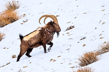 Siberian ibex (Capra sibirica) having just escaped predation by a snow leopard (Panthera uncia) - see scarring and wounds on flank. Ladakh Ranges, western Himalayas, Ladakh, India.