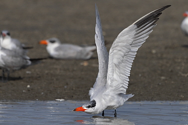 Caspian tern (Sterna caspia) stretching wings before taking off. Allahein River, Gambia.