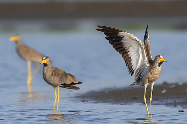 African wattled lapwing (Vanellus senegallus) stretching wings. Allahein River, Gambia.