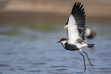 Spur-winged lapwing (Vanellus spinosus) taking off, spur visible on wing edge. Allahein River, Gambia.