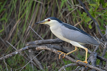Black-crowned night heron (Nycticorax nycticorax) perched in tree. Allahein River, Gambia.