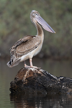 Pink-backed pelican (Pelecanus rufescens) juvenile perched on log in Allahein River, Gambia.