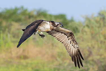 Osprey (Pandion haliaetus) juvenile in flight, carrying fish in talons. Allahein River, Gambia.