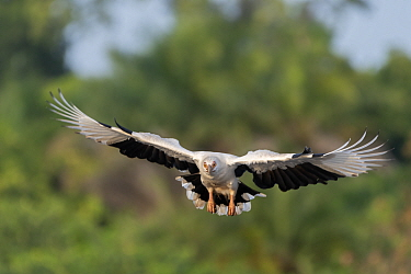 Palm-nut vulture (Gypohierax angolensis) in flight. Allahein River, Gambia.