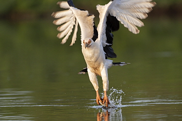 Palm-nut vulture (Gypohierax angolensis) catching fish over water. Allahein River, Gambia.