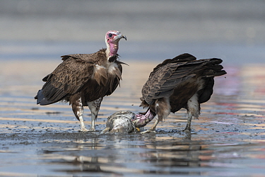 Hooded vulture (Necrosyrtes monachus), two scavenging on fish, juvenile on right. Kololi, Gambia.