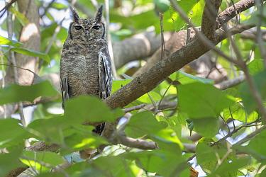 Greyish eagle owl (Bubo cinerascens) perched in tree. Faraba Banta, Gambia.