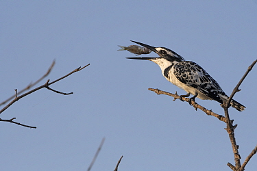 Pied kingfisher (Ceryle rudis) feeding on fish, perched on branch. Allahein River, Gambia. Digital composite.