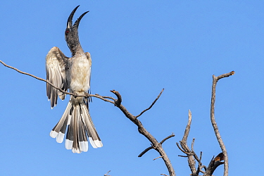 African grey hornbill (Lophoceros nasutus) calling in display, perched on tree snag. Janjanbureh, Gambia.