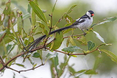 Pin-tailed whydah (Vidua macroura) male perched in tree. Allahein River, Gambia.